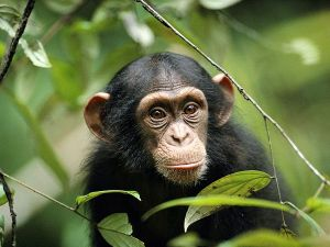 Young Chimp_NatlGeo