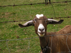 Brown and White Goat by 1poppystudios